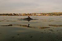 Dolphin Swimming the Pacific Ocean in Newport Beach