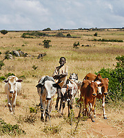 A Karamojong boy learns how to care for cattle by first herding calves. As he gets older he will take on the role of many men in his tribe and care for a herd of cows. Karamoja is the northeastern region of Uganda where more primitive tribes of people live.