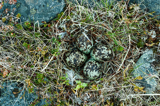 European Golden Plover (Pluvialis apricaria) nest and eggs. Norway. June.