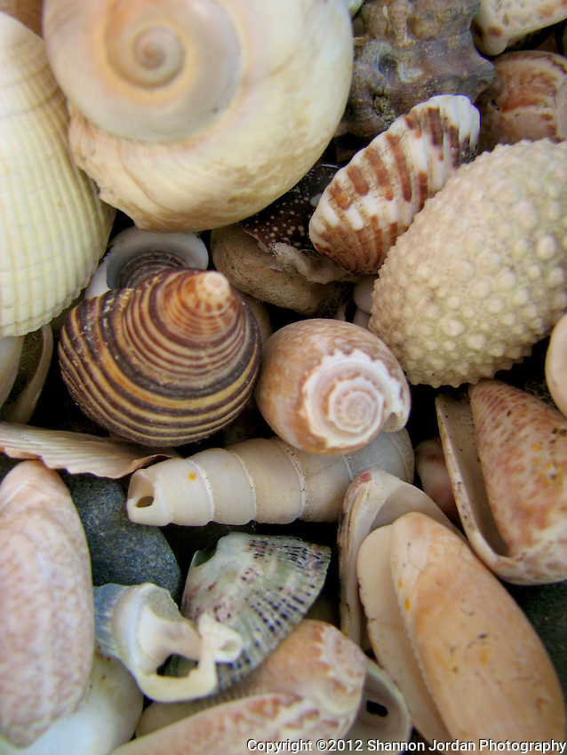 A collection of shells from Hawaii and California