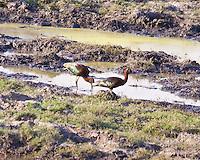 Glossy Ibis, Chobe Riverfront, Botswana