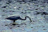 HN01-041z  Great Blue Heron - feeding in pond in Maine - Ardea herodias