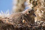 Tucson, Arizona; a Mourning Dove incubating eggs in a nest built amongst a jumping cholla cactus