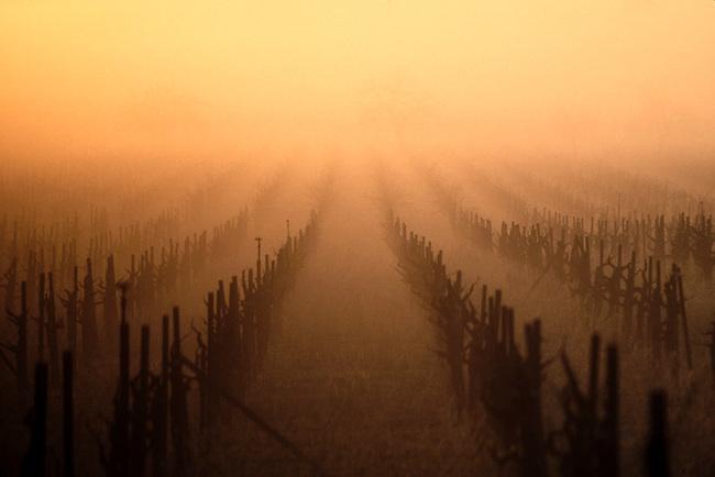 Fog at sunrise in traditional Saint Helena vineyard
