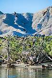 MEXICO, Baja, Magdalena Bay, Pacific Ocean, dozens of birds hanging out on the trees near Magdalena Bay