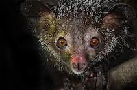 Aye-Aye Lemur (Daubentonia madagascariensis) Madagascar