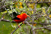 Iiwi (Vestiaria coccinea)A common nectar feeding Hawaiian honeycreeper found only in the high mountain forest of the main Hawaiian Islands.