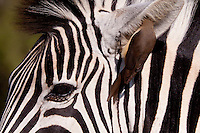 Plains Zebra (Equus Quagga) and Red-billed oxpecker (Buphagus Erythrorhynchus).<br /> <br /> The Oxpecker is  removing parasites from inside the Zebra's ear, benefiting both the Zebra and the Oxpecker. A symbiotic relationship exists between the two.<br /> <br /> Winter, May 2009.<br /> Hluhluwe-Imfolozi Game Reserve, Kwazulu Natal, South Africa.