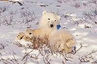 polar bear, Ursus maritimus, relaxing in the snow, Churchill, Manitoba, Canada, Arctic, polar bear, Ursus maritimus