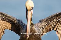 00672-00715 Brown Pelican (Pelecanus occidentalis), La Jolla cliffs, La Jolla, CA