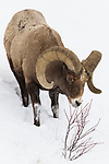 Bighorn Sheep (Ovis canadensis) ram browsing in winter, Lamar Valley, Yellowstone National Park, Wyoming