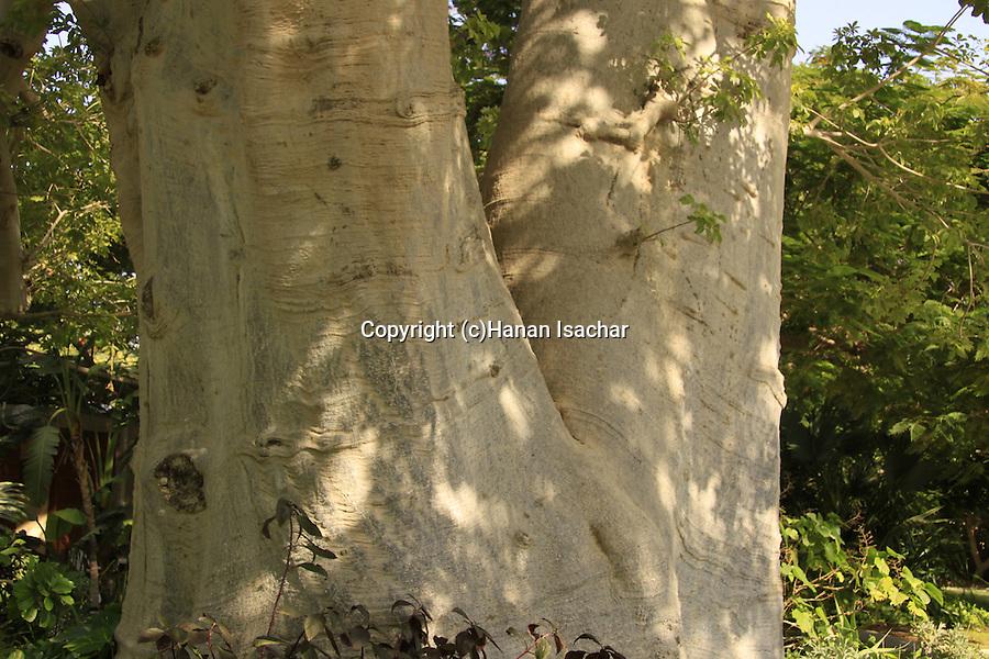 Iarael, Judean desert, Baobab tree in Kibbutz Ein Gedi by the Dead Sea