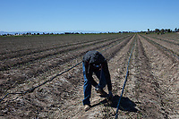 MEXICALI, MEXICO - March 14. A worker picking up asparagus on March, 14 2019 in Mexicali, Mexico. The asparagus need less water than the alfalfa but they are sold cheaper <br /> The rivers usually end in the sea, the Colorado dies in a border. Its the only case like this in the world. There is less water in the Colorado River, hence less water in crops and areas of northern Mexico. <br /> (Photo by Luis Boza/VIEWpress)