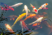Koi (carp) in a pond at the Thien Mu Pagoda (Pagoda of the Celestial Lady) is a historic temple in the city of Hue in Vietnam. Its iconic seven-storey pagoda is regarded as the unofficial symbol of the city. Hue, Central Vietnam.