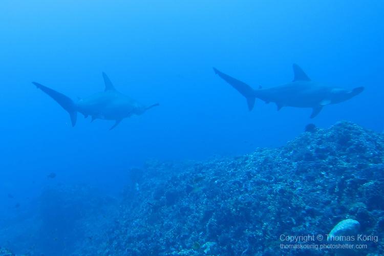 Gun Shui Bi, Green Island -- Two scalloped hammerheads disappearing into the blue.