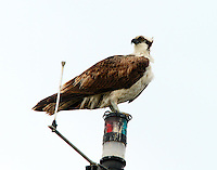 Adult osprey on mast of sailboat next to my house on Key Allegro, Rockport, TX. This was also the bird's roosting place at night.