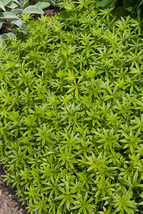 galium odoratum sweet woodruff plant flower stock. Black Bedroom Furniture Sets. Home Design Ideas