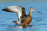 Hudsonian Godwit (Limosa haemastica), adult landing, Dinero, Lake Corpus Christi, South Texas, USA