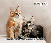 Marek, ANIMALS, REALISTISCHE TIERE, ANIMALES REALISTICOS, cats, photos+++++,PLMP6410,#a#, EVERYDAY