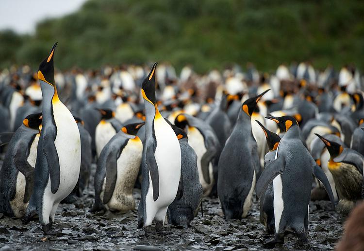 King Penguin (Aptenodytes patagonicus) , Salisbury Plain, South Georgia