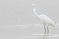 00688-02502 Great Egret (Ardea alba) feeding in wetland in fog, Marion Co., IL