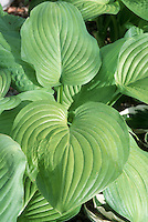 Green foliage of Hosta Guacamole