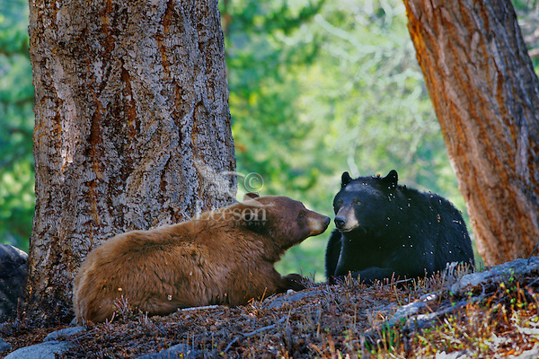 A courting pair of black bears (cinnamon or brown color phase is common among black bears).  Western U.S., spring.