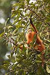 Red Leaf Monkey (Presbytis rubicunda) juvenile male feeding on figs, Tawau Hills Park, Sabah, Borneo, Malaysia