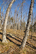 Shagbark Hickory forest during the spring months in Pawtuckaway State Park in Nottingham, New Hampshire USA