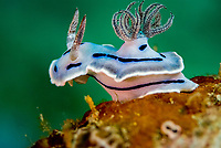 Nudibranch, chromis willani, raised up on the reef - Sulawesi, Indonesia