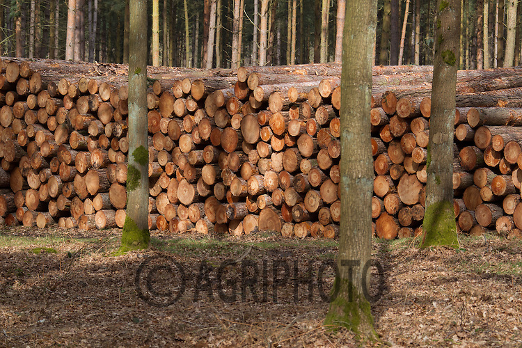 Felled Timber stacked by a forest track ready for collection and transport to the timber mill.Picture Tim Scrivener 07850 303986.tim@agriphoto.com.?.covering agriculture in the UK?.