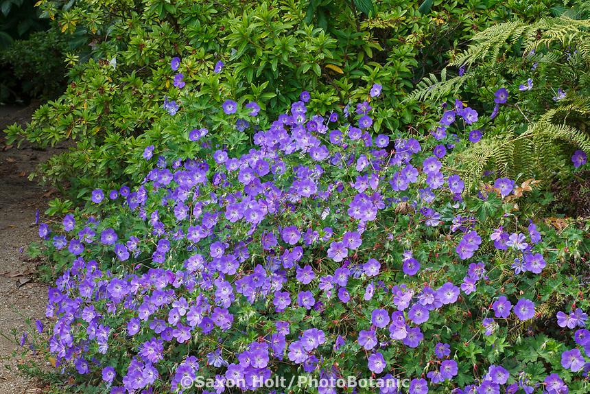 Geranium 'Rozanne.', blue flowering perennial Cranesbill by path in San Francisco Botanical Garden