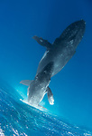 Whale diving out of water by Todd Mintz