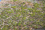 Moss growing on roof tiles, Suffolk, England, UK