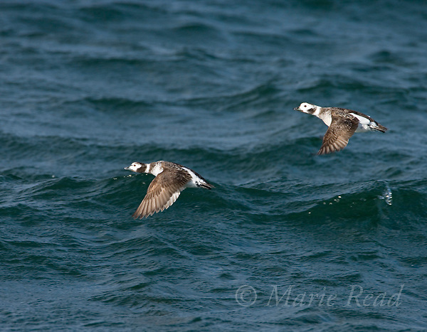 Long-tailed Ducks (Clangula hyemalis) two females in flight, Barnegat Inlet, New Jersey, USA