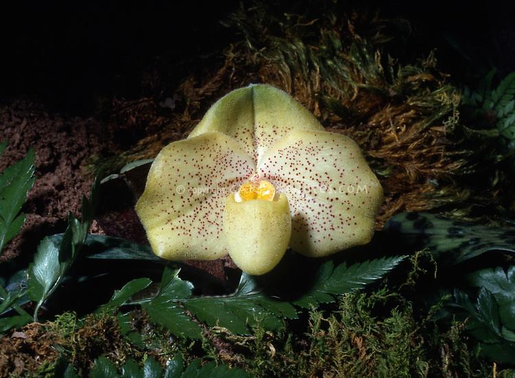 Paphiopedilum Conco-bellatulum 'Jamboree Gold'.  Orchid hybrid between concolor x bellatulum. Primary hybrid