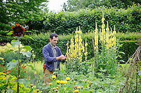 Troy Scott-Smith stakes verbascum plants
