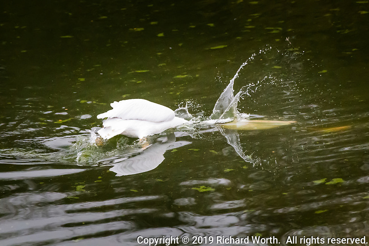 An American White Pelican thrusts its yellow bill and pouch into the water sending spray into the air as it attempts to capture an orange fish, a lightning trout, recently planted at Lake Chabot Regional  Park, California.