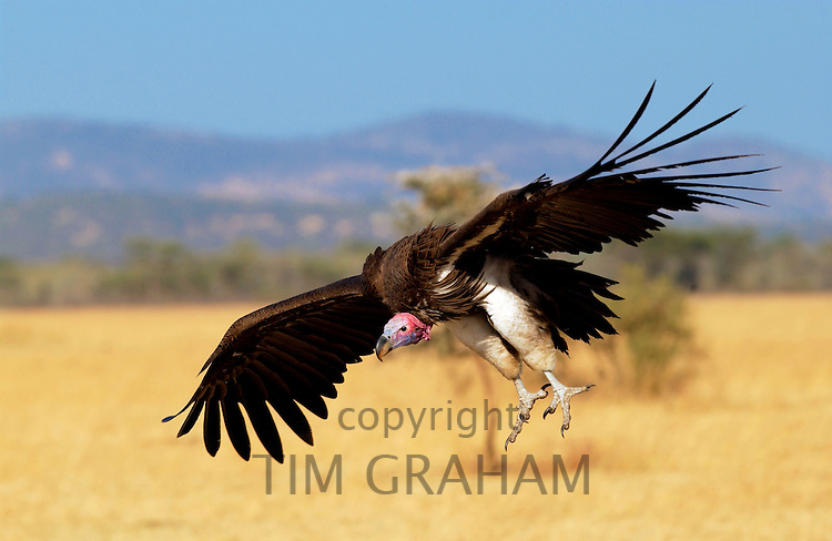 Lappet Faced Vulture, Grumeti, Tanzania RESERVED USE - NOT FOR DOWNLOAD -  FOR USE CONTACT TIM GRAHAM