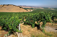 Rows of WINE GRAPES grow at DELICATO VINEYARD, the largest continuous vineyard in CALIFORNIA - SALINAS VALLEY