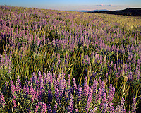 Sunset light on a field of Lupines near Canyon Overlook; Dinosaur National Monument, CO