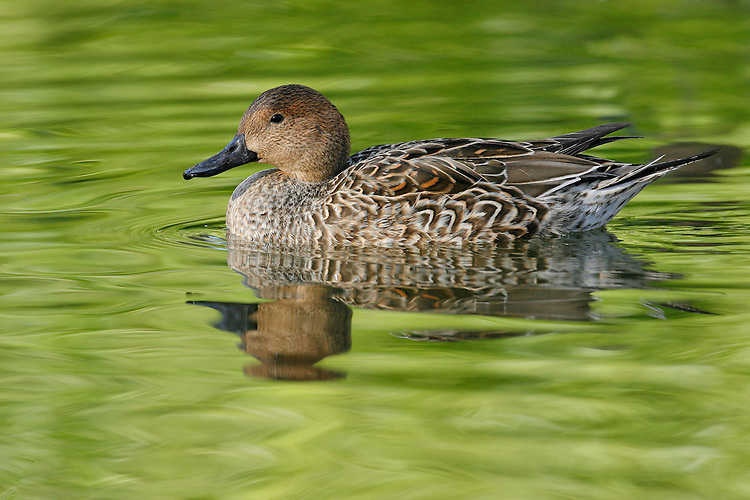 Northern Pintail - Anas acuta - female