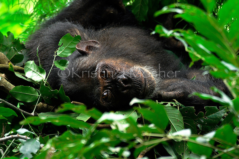 Gaia rests in her nest at the end of the day. Female Eastern Chimpanzee (Pan troglodytes schweinfurthii) Gombe National Park, Tanzania.