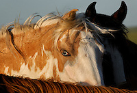 Blued-eyed Shonsone is an intelligent beautiful mare in the Catnip herd. Her left eye is brown.<br />