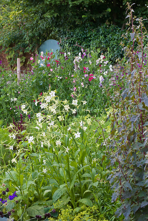 Nicotiana, Sweet peas, fragrant flowers and cutting garden, with blue garden door in walled garden, Alchemilla