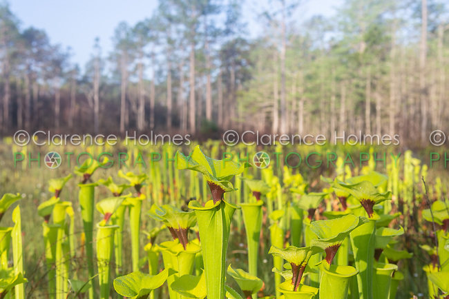 Yellow Pitcherplants (Sarracenia flava var. rugelii) are abundant in this seepage slope/wet prairie habitat in Apalachicola National Forest in the panhandle of Florida.