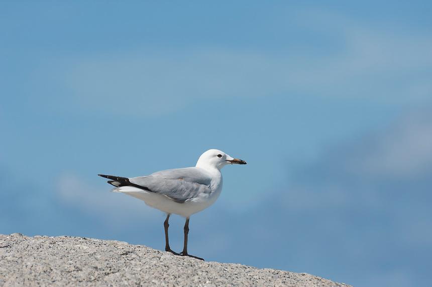 A young silver gull (Chroicocephalus novaehollandiae) on a rock against blue sky, near Victor Harbour, South Australia.