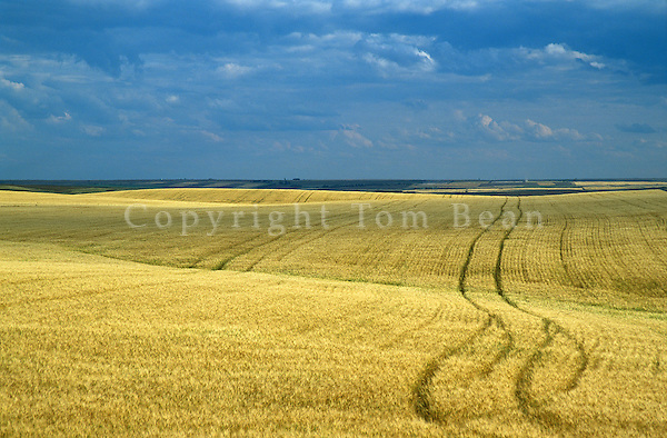 Wheat field with vehicle tracks making patterns among the grain in Willliams County south of Grenora, North Dakota, AGPix_0704.