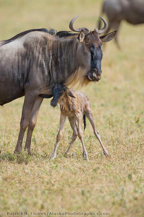 Wildebeest, Connochaetes taurinus, Ngorongoro Crater, Tanzania, Africa