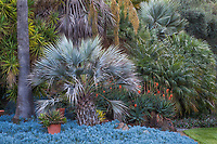 Chamaerops humilis, Mediterranean Blue Palm tree in drought tolerant mixed border garden, Leaning Pine Arboretum, Cal Poly; San Luis Obispo California
